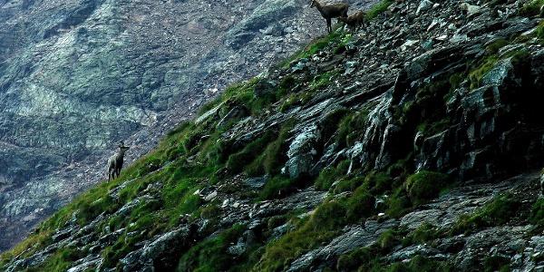 Gamswild entlang des Aufstiegs zur Schwarzen Wand.