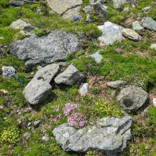 Alpine Polstervegetation in voller Blütenpracht am Weg zum Larmkogel