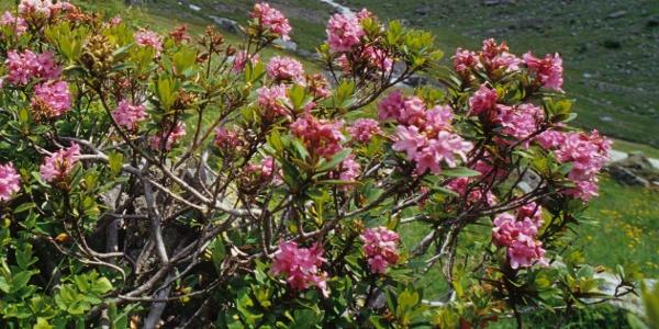 Im Juni und Juli blühen die Almrosen. Die herbstliche Alpenflora hingegen zeigt sich von einer ganz anderen Seite.