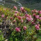 Mittersill-Die-herbstliche-Alpenflora