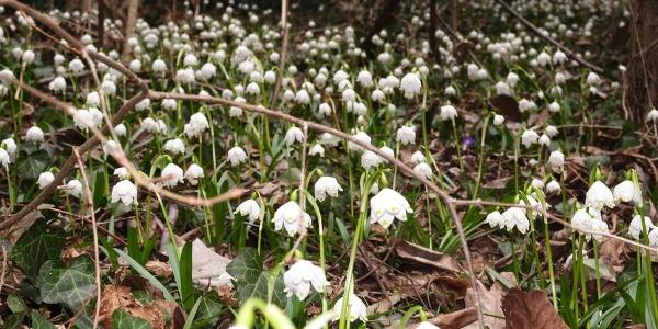 Snowdrops in Spring Valley