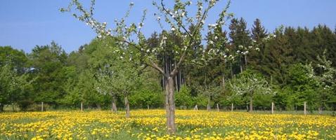 Apfelblüte an der Streuobstwiese (Foto: Carola Heimann, Quelle: Naturpark Lahn-Dill-Bergland)
