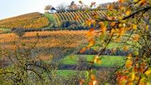 Groß-Umstadt: Odenwälder WeininselWanderWeg - Grüne Reben und schöne Aussichten