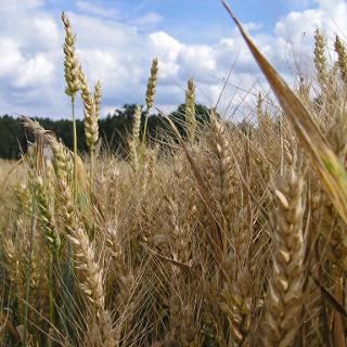 Wogende Getreidefelder am Wegesrand