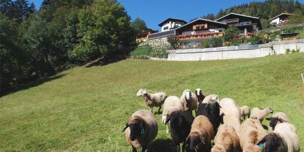 Montjola Hausansicht Schafe