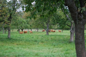 Highland Cattle unter Obstbäumen in Herschwiesen (Foto: Stefan Rees, Quelle: Romantischer Rhein Tourismus GmbH)