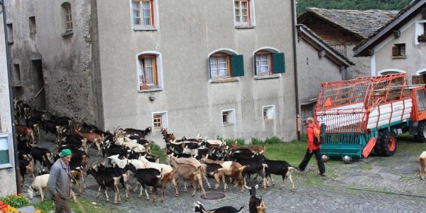 Etappe 1: Ziegen kommen jeden Abend mit  dem Hirt zurück  ins Dorf Hinterrhein