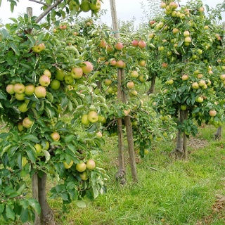 Apfelanbau - typisch für Südtirol