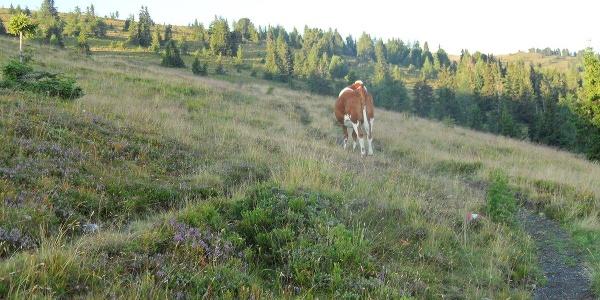 Der Weg wird von einer Kuh bewacht.