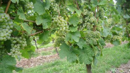 Weintrauben für köstliche Weine aus der Rhein-Nahe Region