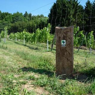 Corveyer Weingarten mit Markierungssteele