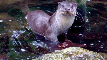 Tierpark Kunsterspring-Fischotter