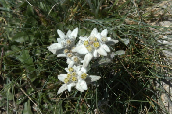 With a little luck, even edelweiss