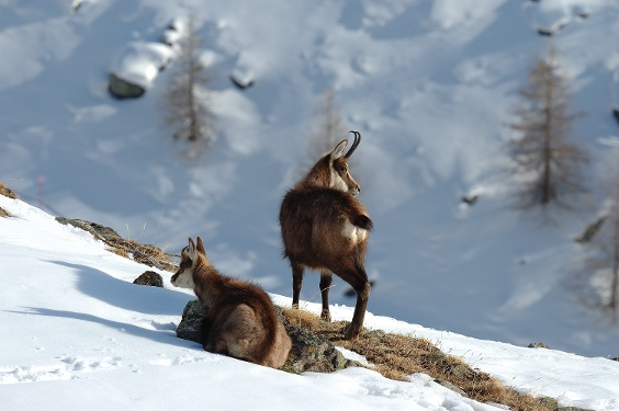 Chamois, also to be seen in winter