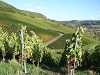Herrliche Weinlandschaft im Steinbacher Tal  - @ Autor: Beate Philipp  - © Quelle: Hardy Mann