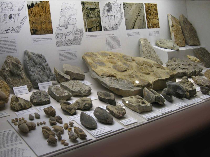 Reichhaltige versteinerte Funde aus dem Muschelkalk Hohenlohes  - @ Autor: Beate Philipp  - © Quelle: Hardy Mann