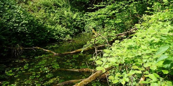 Waldtümpel zwischen Alaunloch und Forellenhof Bieker