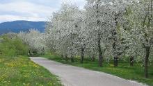 """Achern: Dreikirschenweg (große Runde - über den """"Bienenbuckel"""")"""