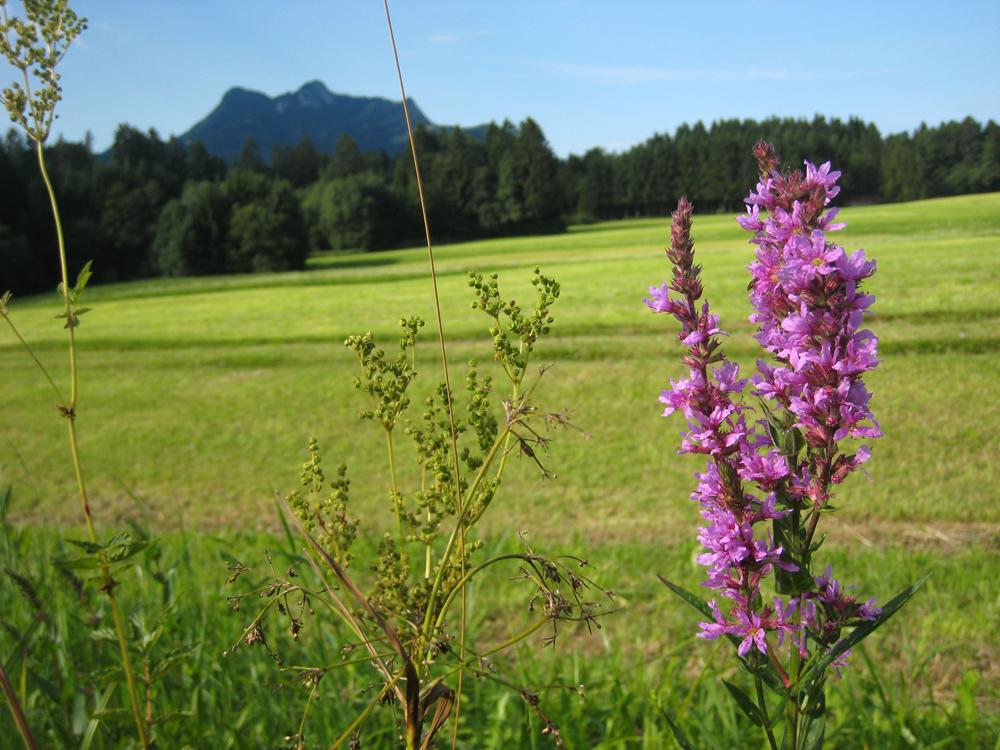 In der Samerberger Filze findet man noch viele geschützte Blumenarten