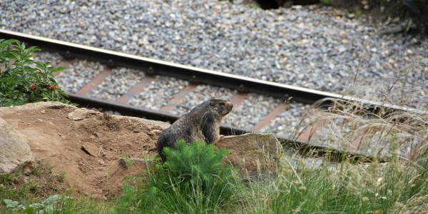 Marmots can be seen at many spots along the way