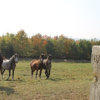 St. Julian Pferde